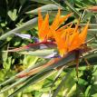 Hawaii Birds of Paradise